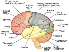 hjärnans olika delar och funktioner