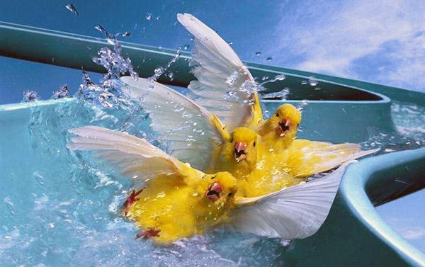 Canary_crazy